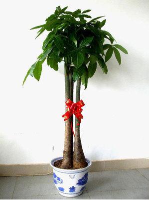 大发财树 (发财树)